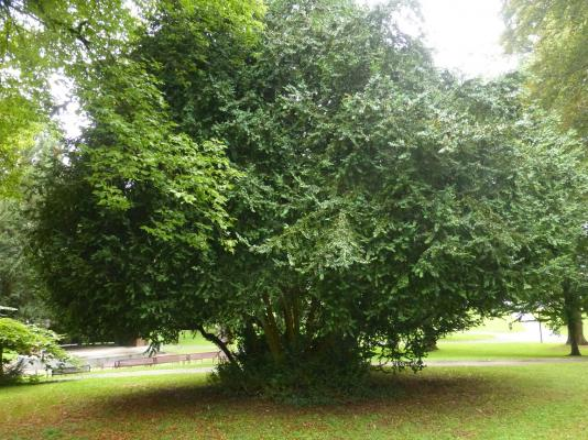 Box tree 160 years old.JPG