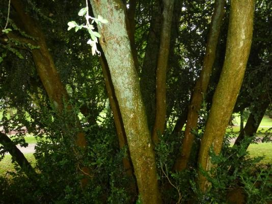 Box tree 2.JPG