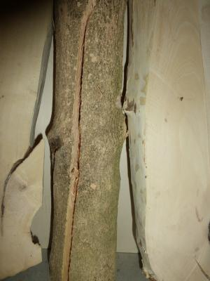 Box tree.JPG