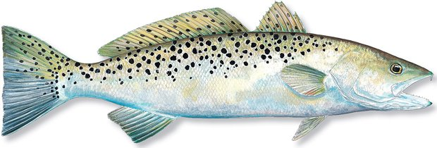 SPOTTED-SEATROUT.30.jpg
